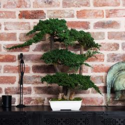 Bonsai Procumbens 70